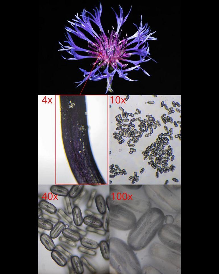 pollen of Centaurea Montana