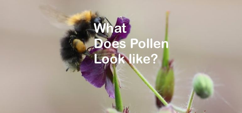 What Does Pollen Look Like And Where Does It Come From