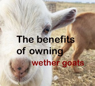 What Is a Wether Goat, and What Are the Benefits of Owning One?