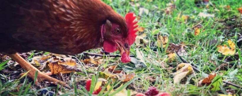 Can Chickens Eat Raisins Raisins Galore