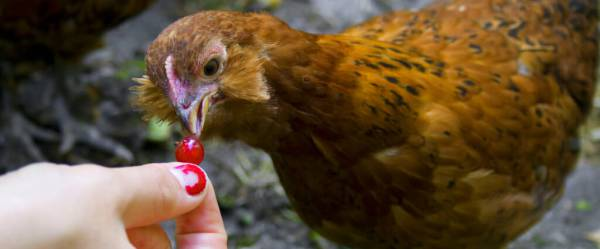 Can Chickens Eat Grapes Separating Fact From Fiction
