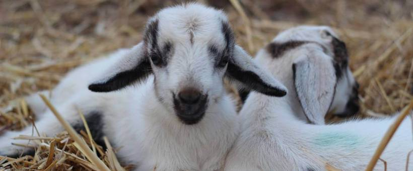 How Many Babies Do Goats Have? A Guide to Breeding Goats