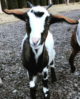 What Is the Smallest Goat Breed? An Informative Guide to