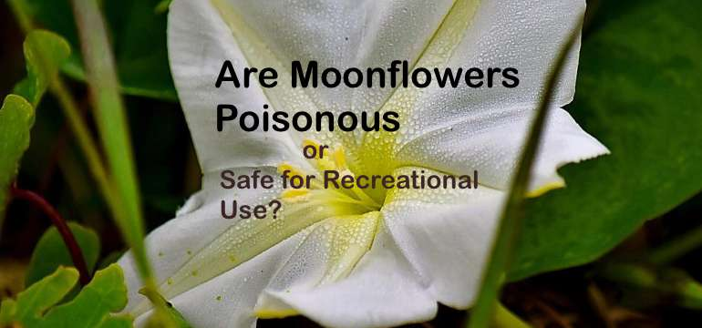 Are Moonflowers Poisonous Or Safe For Recreational Use