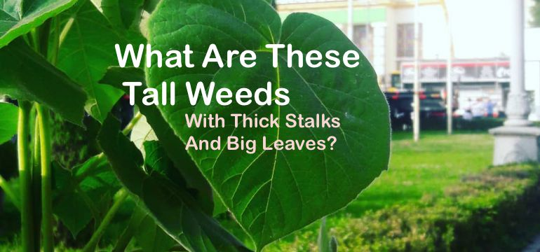 What Are These Tall Weeds With Thick Stalks And Big Leaves